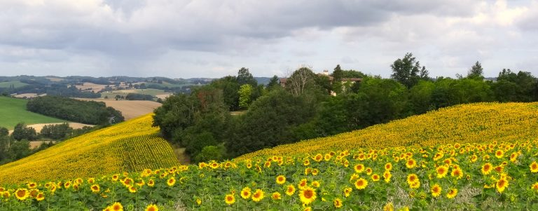 View of fields of sunflowers in the Gers